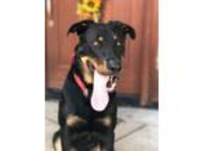 Adopt Rocco a Black - with Tan, Yellow or Fawn German Shepherd Dog / Rottweiler