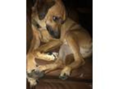 Adopt Mia a Brown/Chocolate German Shepherd Dog / Labrador Retriever dog in