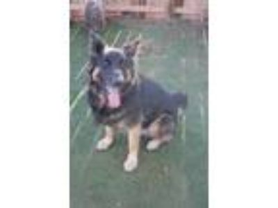 Adopt G - Man/geronimo a German Shepherd Dog