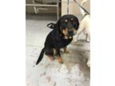 Adopt COLT a Brown/Chocolate - with Black Rottweiler / Mixed dog in Conroe