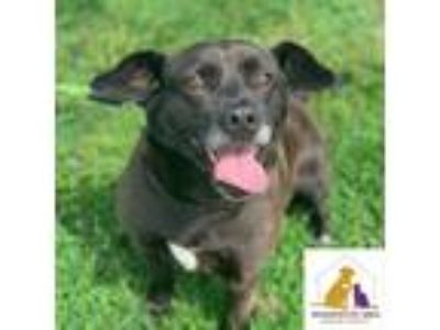 Adopt Lulu a Black American Staffordshire Terrier / Shar Pei / Mixed dog in