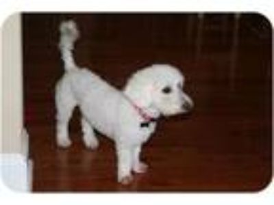 Adopt please read before email a White Poodle (Miniature) / Mixed dog in bronx