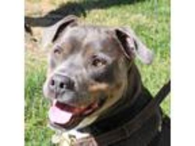 Adopt Lavender a Gray/Silver/Salt & Pepper - with White Rottweiler / Mixed dog