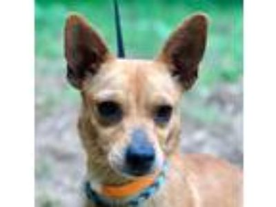 Adopt LUCY a Brown/Chocolate - with White Dachshund / Terrier (Unknown Type