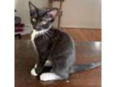 Adopt LaFayette a All Black Domestic Shorthair cat in Los Angeles, CA (25597236)