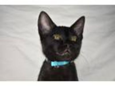 Adopt Goofy a All Black Domestic Shorthair (short coat) cat in Bentonville