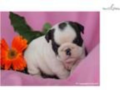 Smart English Bulldog: Keely (F)