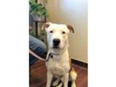 Adopt Noble a White - with Red, Golden, Orange or Chestnut Pit Bull Terrier /