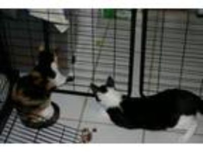 Adopt Barn Cats Work 4 a Domestic Short Hair