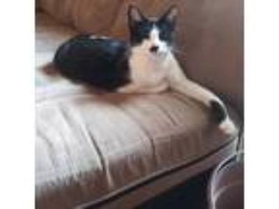 Adopt Senu a Black & White or Tuxedo American Shorthair cat in Grand Rapids