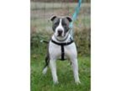 Adopt Gunner a Gray/Blue/Silver/Salt & Pepper American Pit Bull Terrier / Mixed