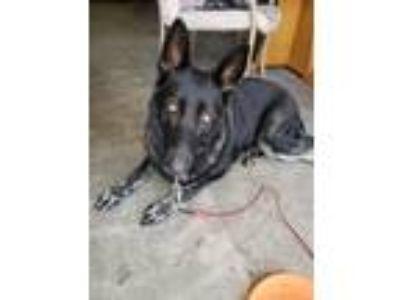 Adopt Koda a Black - with White German Shepherd Dog dog in Cedar Lake