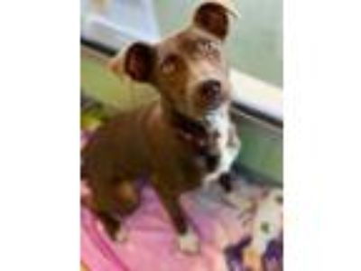 Adopt Cammi a Pit Bull Terrier, Mixed Breed