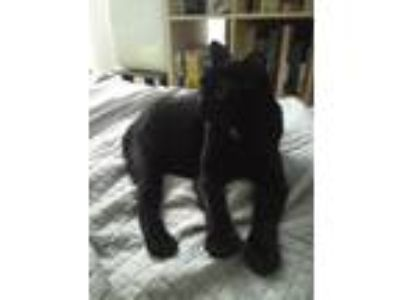 Adopt Salmiakki a Black (Mostly) American Shorthair cat in Redwood City