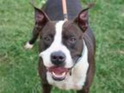 Adopt Chico a Black American Pit Bull Terrier / Mixed dog in Georgetown