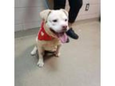 Adopt Gremlin a White American Staffordshire Terrier / Mixed dog in Spartanburg