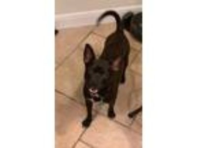 Adopt Ray Ray a Boston Terrier