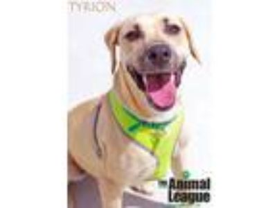 Adopt Tyrion a Black Mouth Cur, Labrador Retriever