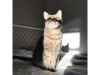 Adopt Candy a Gray or Blue (Mostly) American Shorthair cat in San Francisco