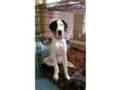 Adopt Sugar Belle a White - with Black Great Dane / Mixed dog in Sale Creek