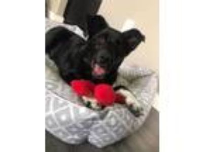 Adopt Archie a Labrador Retriever, Border Collie