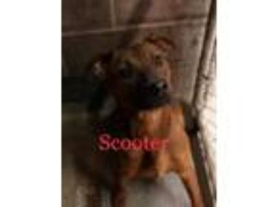 Adopt Scooter a Catahoula Leopard Dog