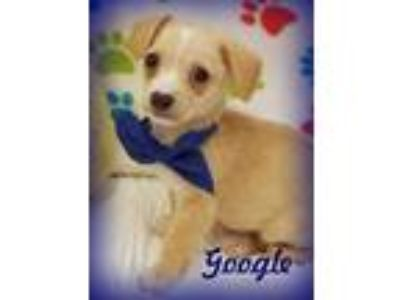 Adopt GOOGLE a Tan/Yellow/Fawn - with White Dachshund / Terrier (Unknown Type