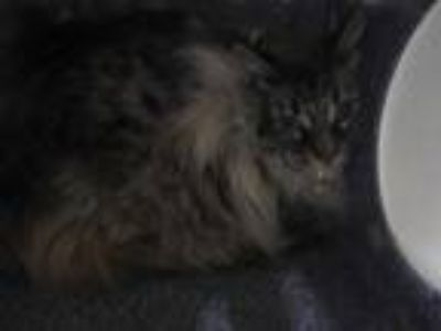 Adopt BABY a Gray, Blue or Silver Tabby Siamese / Mixed (short coat) cat in