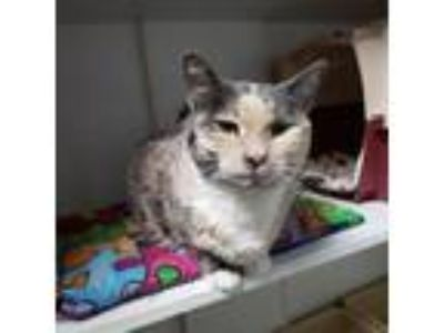 Adopt Patchess a Domestic Short Hair