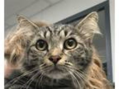 Adopt Rylee a Domestic Mediumhair / Mixed cat in Madison, NJ (25929718)