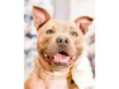 Adopt Sadie a Brindle Staffordshire Bull Terrier / Pit Bull Terrier / Mixed dog