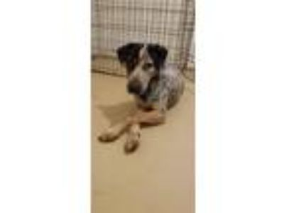 Adopt Buddy a Gray/Blue/Silver/Salt & Pepper Bluetick Coonhound / Mixed dog in