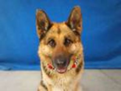 Adopt XOCHIL a German Shepherd Dog