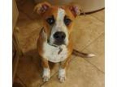 Adopt Stephen a Red/Golden/Orange/Chestnut - with White Boxer / Blue Heeler /