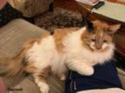 Adopt Hannah a Calico or Dilute Calico Calico / Mixed (long coat) cat in