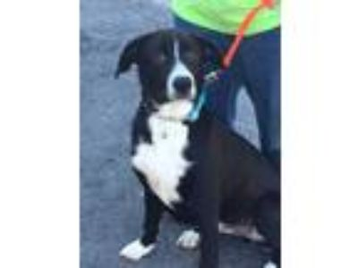 Adopt Bingo a Black Border Collie / Mixed dog in South Elgin, IL (25589387)