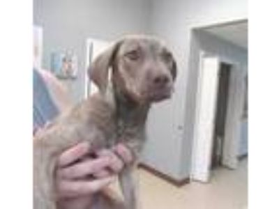 Adopt *FIONA a Brindle - with White Plott Hound / Labrador Retriever / Mixed dog