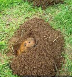Are Gophers Destroying Your Lawn