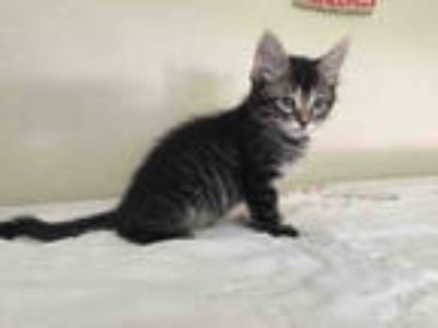 Adopt a Brown Tabby Domestic Shorthair / Mixed (short coat) cat in Waco