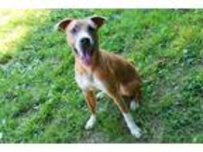 Adopt TALIB a Brown/Chocolate - with White Labrador Retriever / Mixed dog in