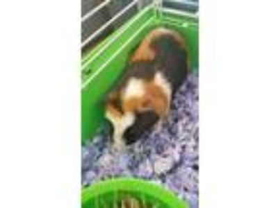 Adopt Rudy a Orange Guinea Pig / Mixed small animal in Washington, DC (25645330)