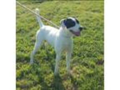 Adopt Clover a White - with Black Pointer / Mixed dog in Cameron, MO (23381372)
