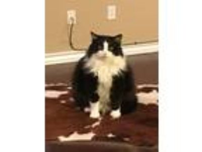 Adopt Mazy a Black & White or Tuxedo Domestic Longhair / Mixed cat in Corpus