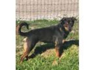 Adopt LYRIC a Brown/Chocolate - with Black Shepherd (Unknown Type) / Rottweiler