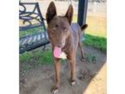 Adopt CANELO a German Shepherd Dog, Mixed Breed