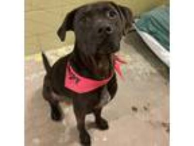 Adopt Zero a Black Pit Bull Terrier dog in Asheville, NC (25881141)