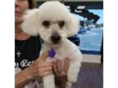Adopt Odie a Poodle