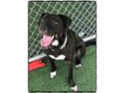 Adopt RORY a Black - with White Labrador Retriever / Mixed dog in Marietta