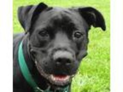 Adopt Sandler a Black - with White Labrador Retriever / Boxer / Mixed dog in