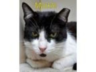 Adopt MARKLE a Domestic Short Hair